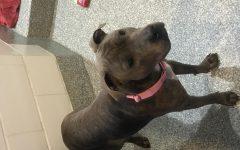 Banning of The Pitbull Terrier