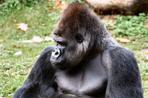 A Silverback Gorilla is considered to be one of the strongest mammals for its size.