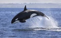 Freeing Our Captive Whales